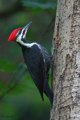 Pileated Woodpecker | by *Ryan Shaw