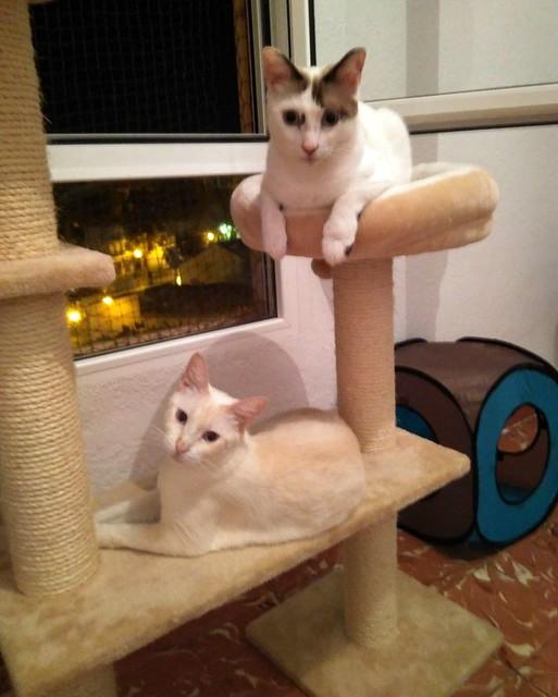 Brisa, gata Siamesa Red Point dulce y tímida esterilizada nacida en Abril´15, en adopción. Valencia. ADOPTADA. 35899376854_6ca26bd798_z