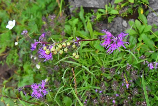 八ヶ岳・横岳に咲いていた花