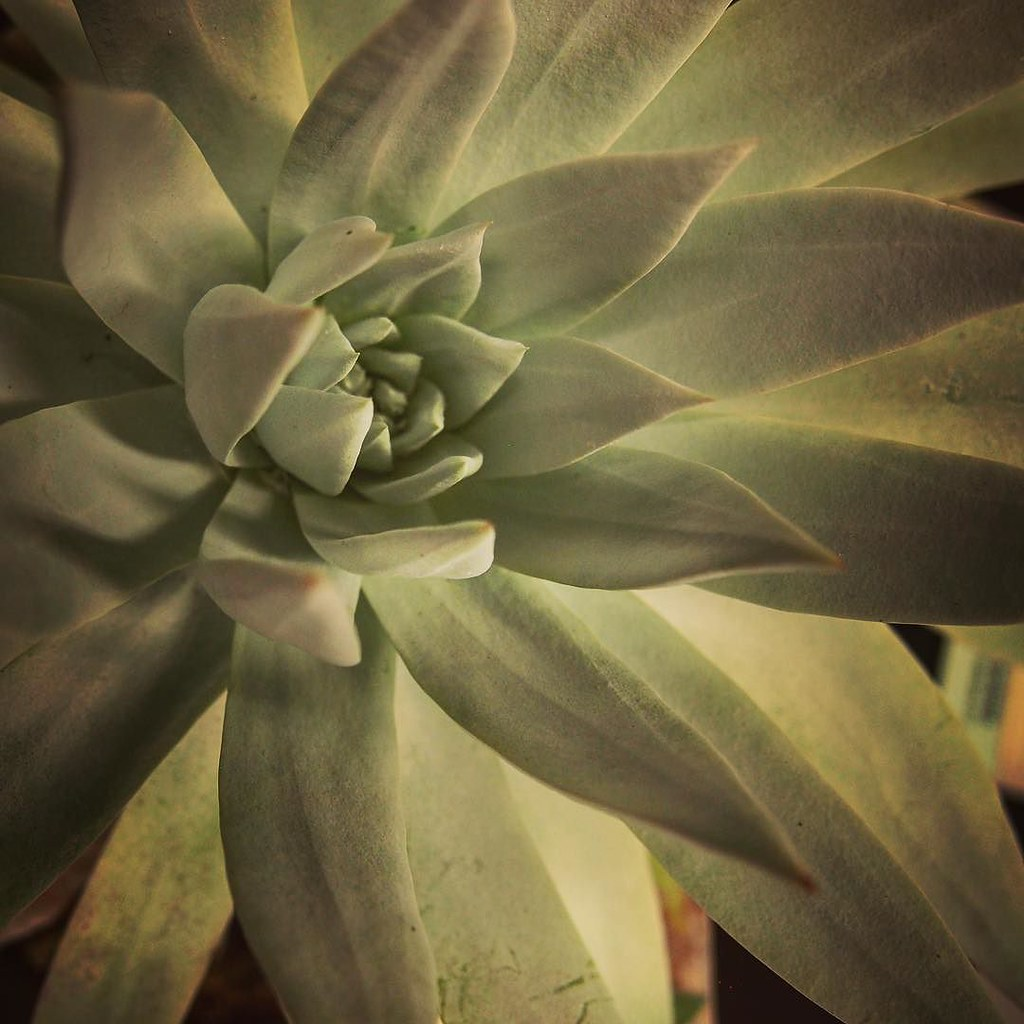 Dudleya Los Angeles Cactus & Succulent Society Plant Show … | Flickr