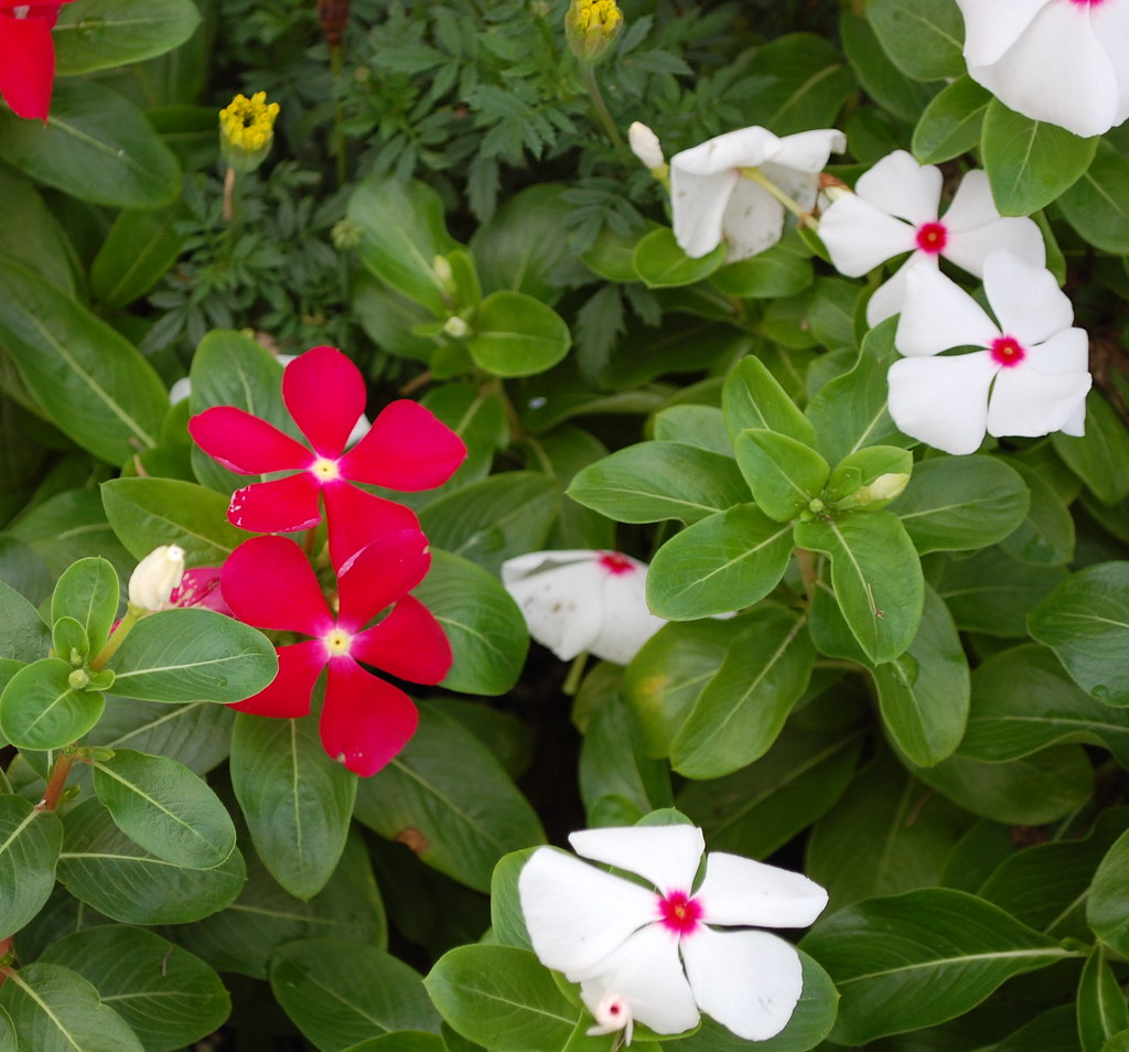 Vinca Flowers Vinca Flower Bed At The Apartment Complex W Flickr