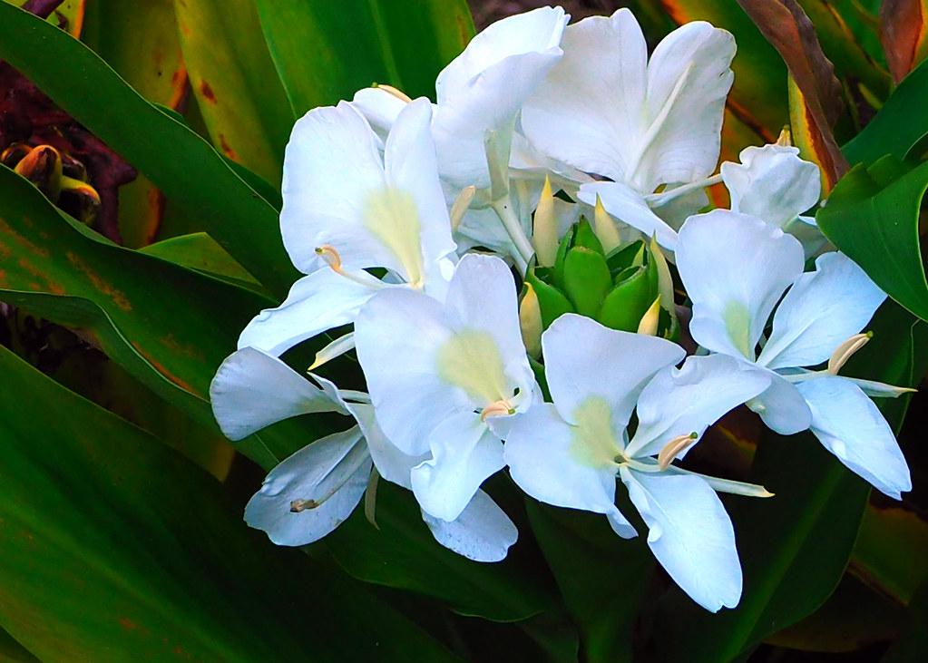 Hawaiian white ginger flowers farolsfotos flickr hawaiian white ginger flowers by farolsfotos mightylinksfo