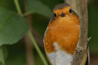Robin - Lackford Lakes | by Airwolfhound