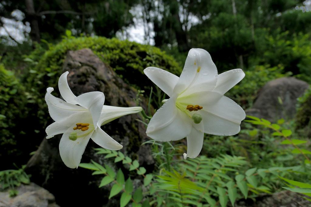 large white lily flowers large white lily flowers behind t flickr