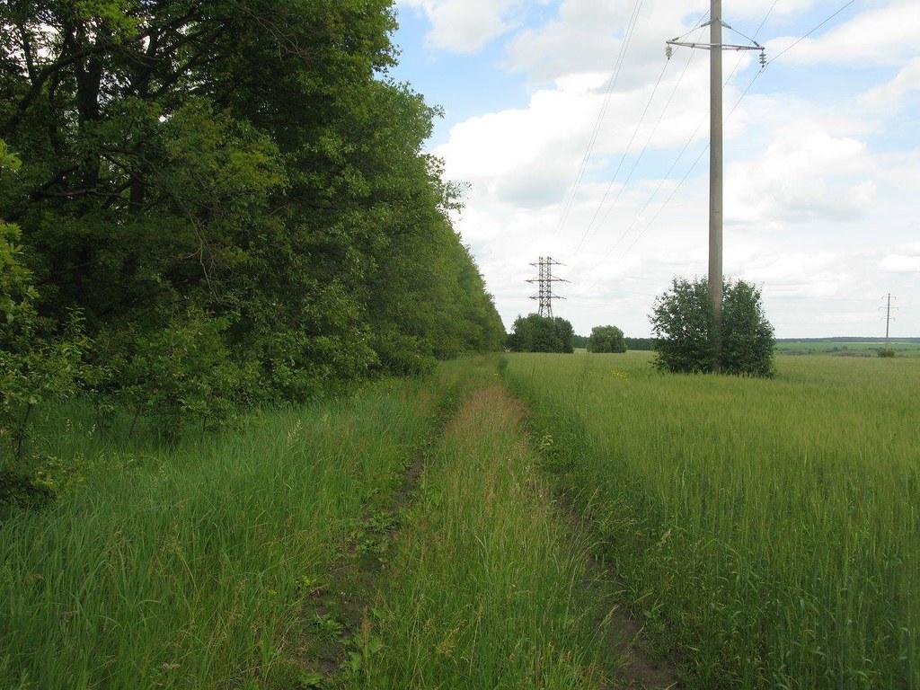Дорога у дубовой лесополосы