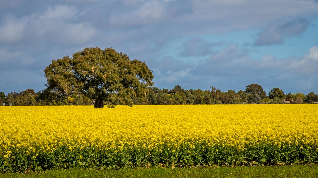 canola fields 4 russell charters flickr