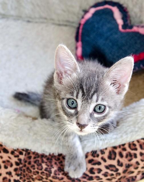Benny, gatito Azul Ruso Tabby muy guapo y bueno, nacido en Julio´17, en adopción. Valencia. ADOPTADO. 36821699871_df0d67c270_z
