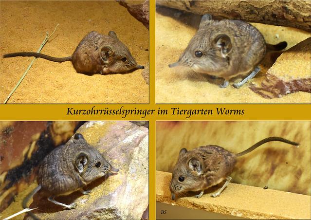 Kurzohrrüsselspringer Tiergarten Worms ... Fotos: Brigitte Stolle, Mannheim