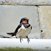 Swallow at Cadle Mill Farm (Brian Meredith May 17)