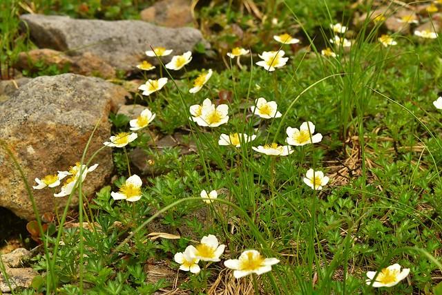 チングルマの花