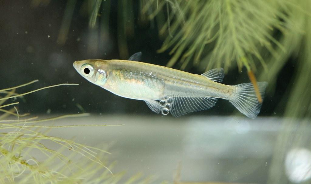 青鱂魚(雌)。照片提供/鍾宸瑞