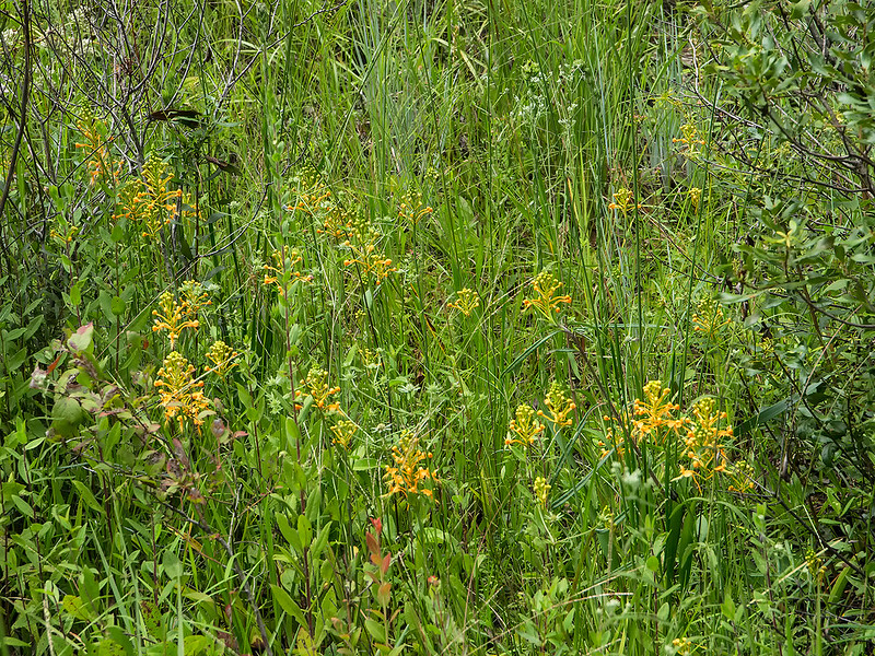Yellow Fringed orchids in bud