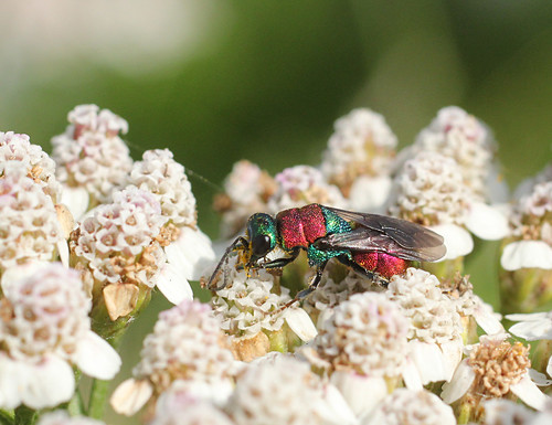 Jewel wasp_4723 | by Penny Metal