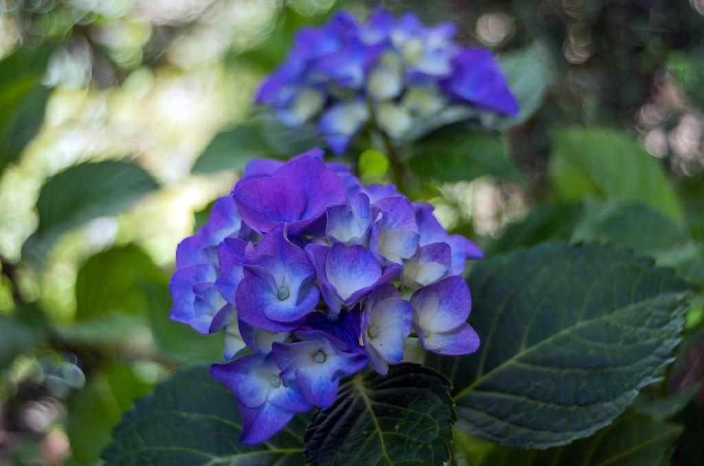 Blaue Hortensie Pentacon 30 Mm F 3 5 Gunter Mengedoth Flickr