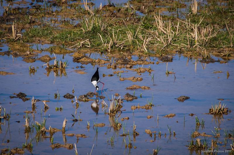 Cigüeñuela común en el Delta del Llobregat