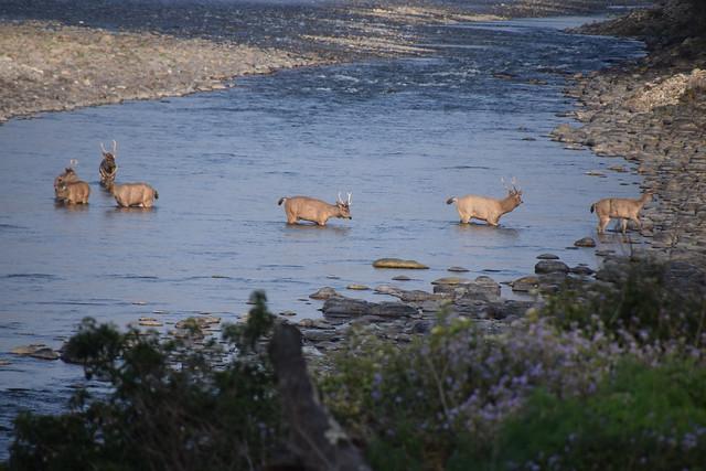 Seven sambar deer are seen walking across a stream.