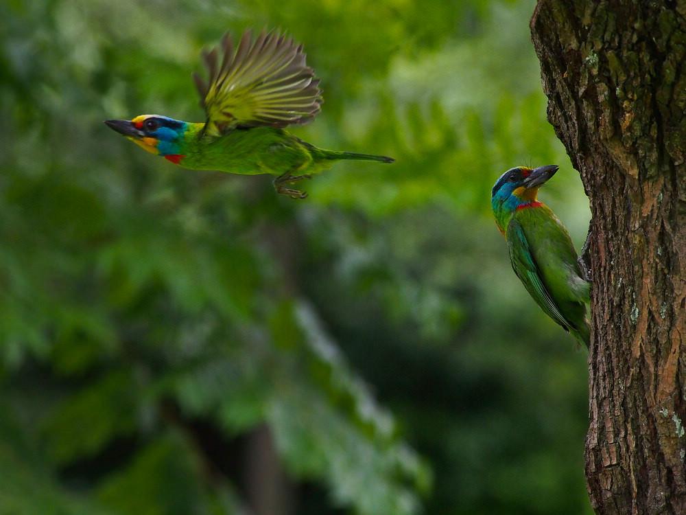 五色鳥顏色與週邊相似,若不是特別利用景深區隔,實在很難發現。圖片來源:flickr  擁有者:kenny mobile (CC BY-NC-ND 2.0)。