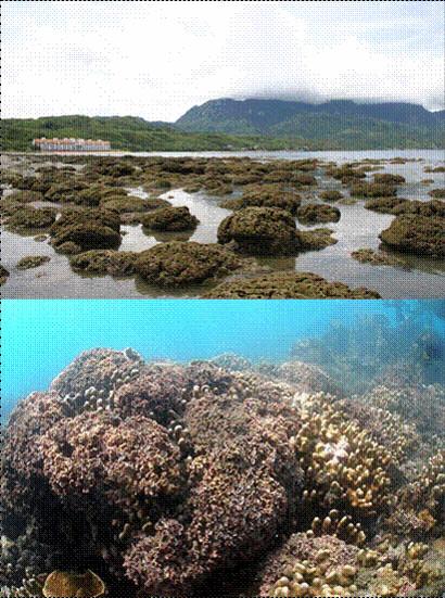 台東杉原美麗灣散落在潮間帶小範圍珊瑚和珊瑚藻混生不連續礁體(上圖)及水下珊瑚礁前緣的藻瀑(下圖)。(郭兆陽拍攝)