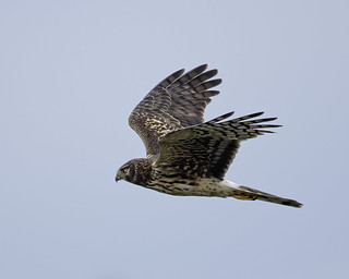 Northern Harrier #118 | by lennycarl08