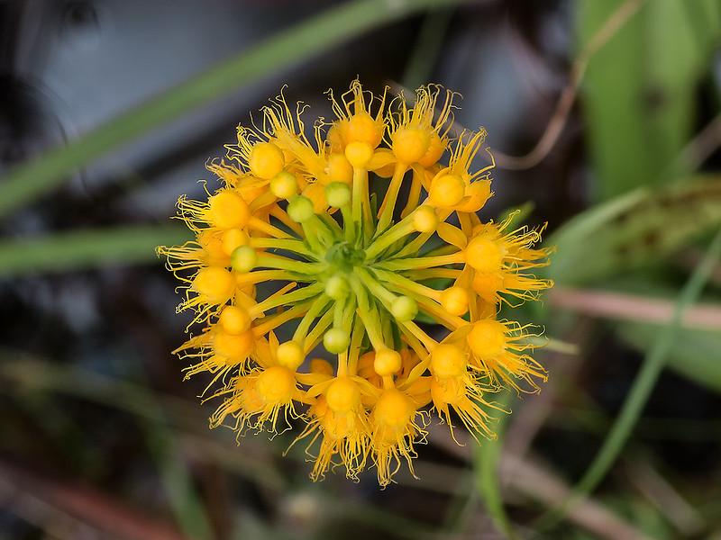 Crested Fringe orchid