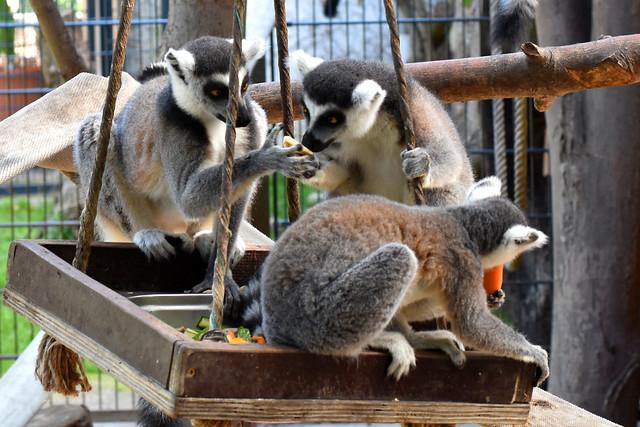 Kattas im Wormer Tiergarten ... Foto: Brigitte Stolle