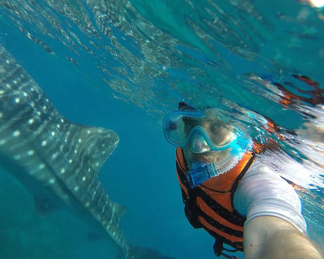 Nadando con tiburones ballena en Donsol