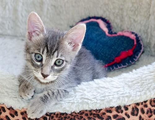 Benny, gatito Azul Ruso Tabby muy guapo y bueno, nacido en Julio´17, en adopción. Valencia. ADOPTADO. 36821698691_80cac1e452