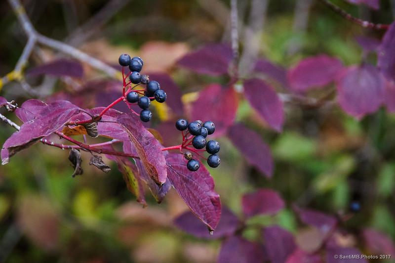 Bayas de cornejo en otoño