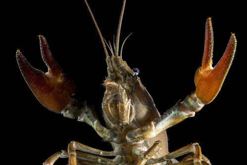Crayfish | by Brian Tomlinson Photography
