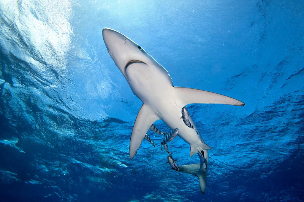 Por qué necesitamos tiburones