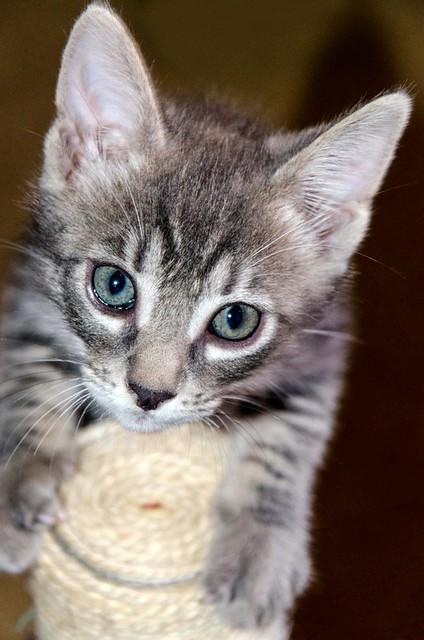 Benny, gatito Azul Ruso Tabby muy guapo y bueno, nacido en Julio´17, en adopción. Valencia. ADOPTADO. 36821695881_224dabbfde_z