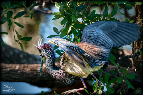 Image of a Tri-colored Heron at the St. Augustine Alligator Farm