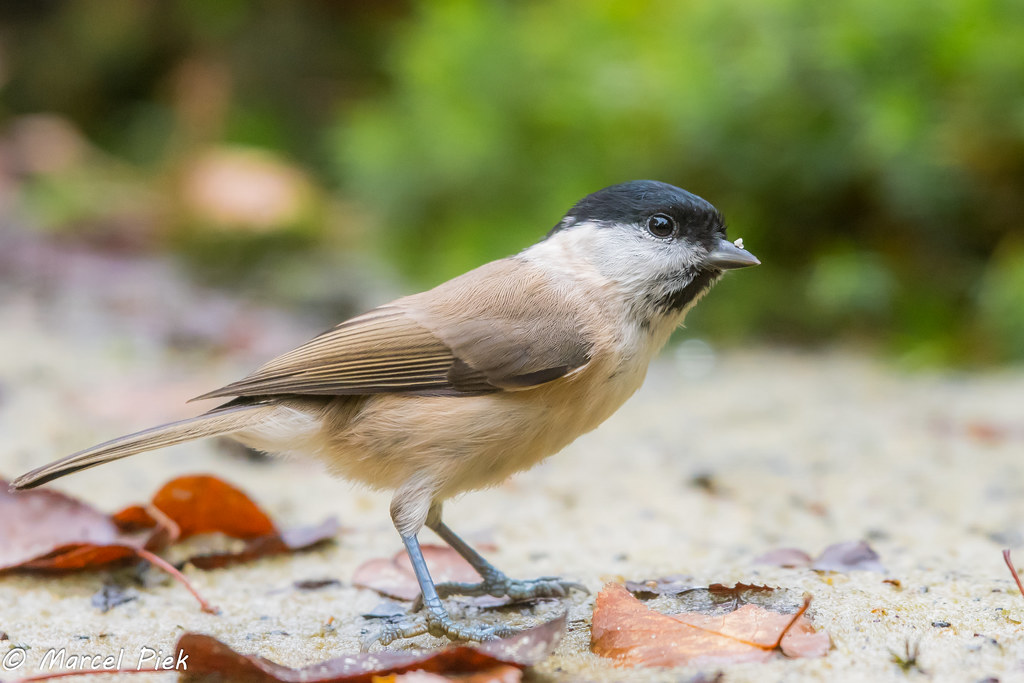 in sand Tit