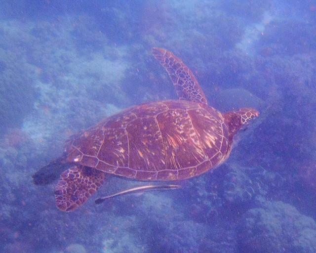 Tortuga en los fondos marinnos de Balicasag en Filipinas