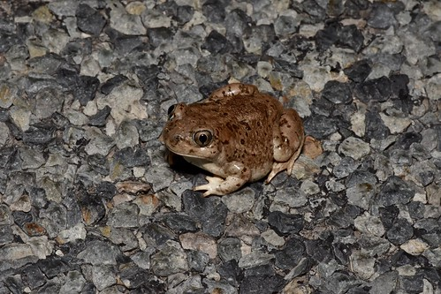 Mexican Spadefoot Toad (Spea multiplicata) | by mitchberk