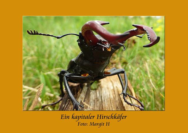 Hirschkäfer-Fotos von Margit