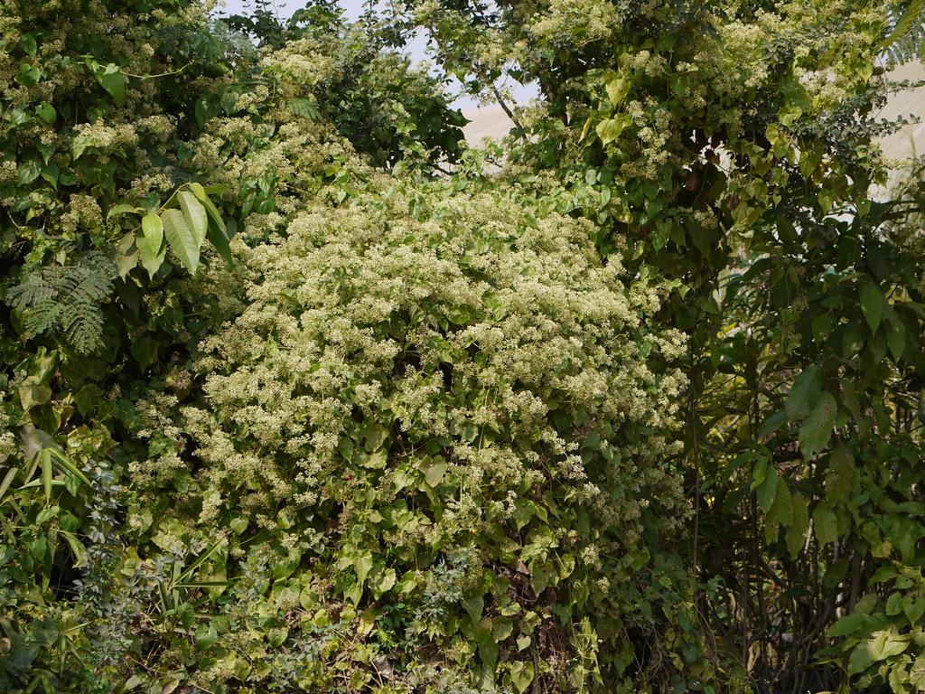 小花蔓澤蘭會生長到覆蓋整個植株。圖片來源:Dinesh Valke(CC BY-SA 2.0)。
