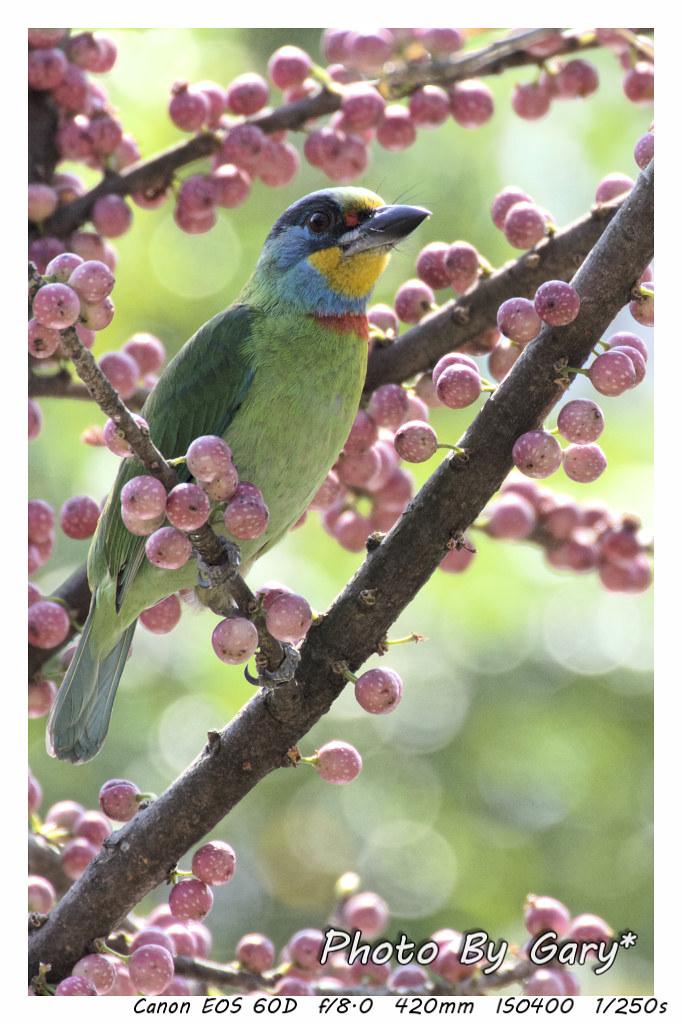五色鳥是新竹縣的縣鳥,身體顏色十分美麗。圖片來源:flickr  擁有者:Gary Kao (CC BY-NC-ND 2.0)。
