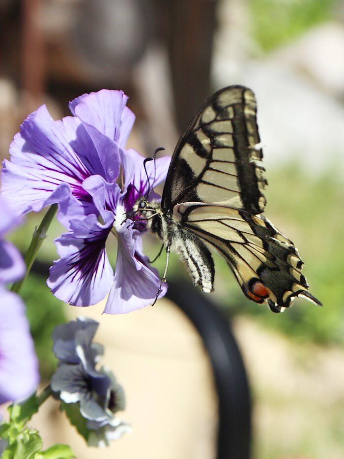 Ritariperhonen kukassa, lähikuva