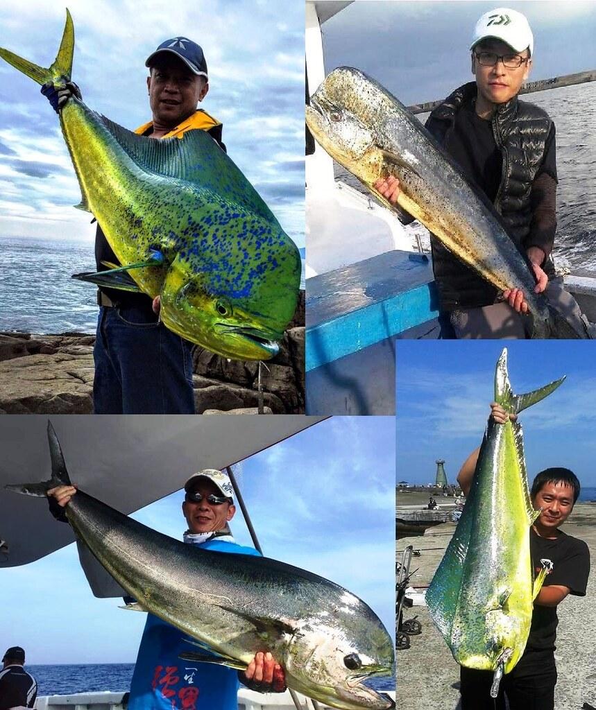 鬼頭刀不但是我國商業捕撈的對象魚種,在休閒釣客間也佔有一席之地