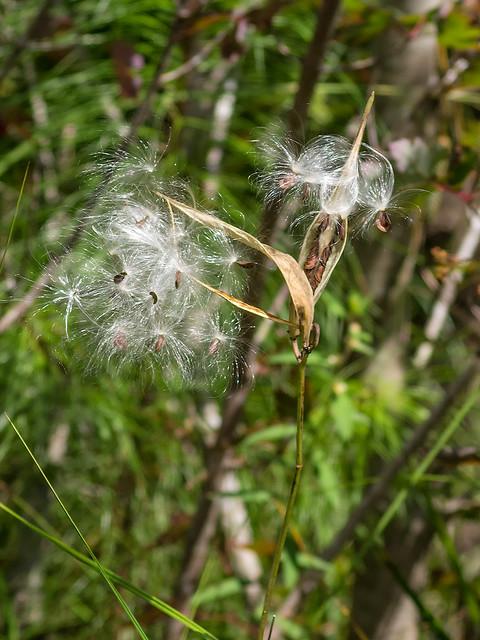 Few-flowered Milkweed seeds