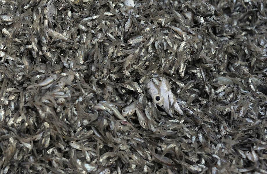 2014年10月16日東海海域一條拖網漁船的一網漁獲,除了一條成年帶魚其餘都是飼料魚。拖網是中國最主要的漁船類型,每年捕撈量約佔中國海洋總捕撈量的一半。綠色和平的調查顯示中國拖網漁船的漁獲物中平均一半都是飼料魚。圖片來源:綠色和平/朱立