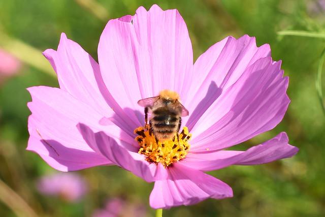 September 2017. Bienenweide im Gemeindepark Edingen --- Brigitte Stolle, Mannheim