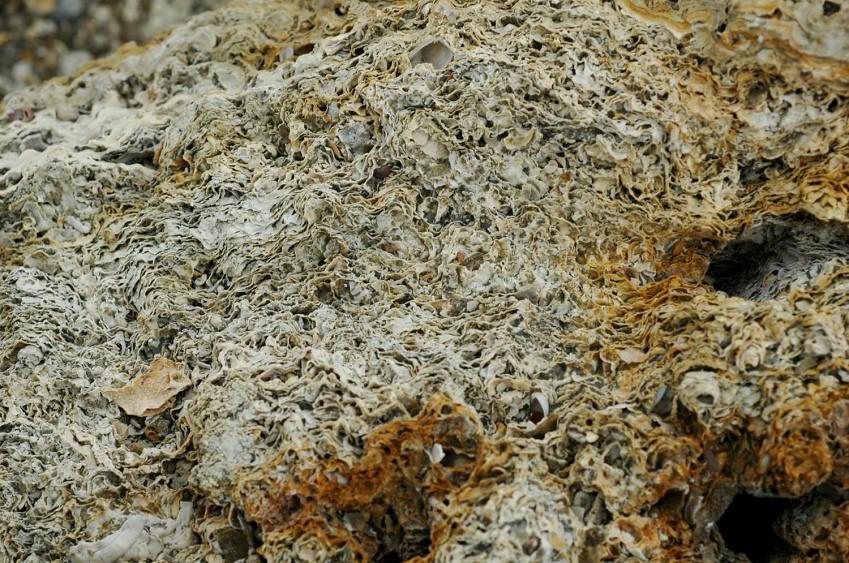 桃園藻礁高純度多孔隙礁體之剖面圖。(劉靜榆拍攝)