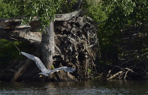 Blue Heron 03082015_DSC0481 | by David Villeneuve