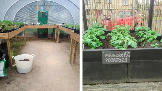 A tidy polytunnel with benches on the left and a raised bed on concrete, filled with potato plants, labelled maincrop potatoes. Red car and housing in the background behind a slatted fence.