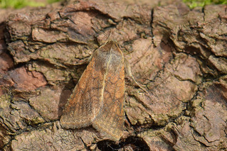 Helicoverpa armigera - Scarce Bordered Straw | by d.hunt67