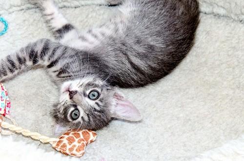 Benny, gatito Azul Ruso Tabby muy guapo y bueno, nacido en Julio´17, en adopción. Valencia. ADOPTADO. 36821693721_62429ed85e