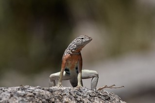 Greater Earless Lizard (Cophosaurus texanus), male | by mitchberk