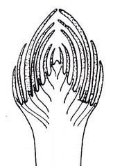 5a sezione schematica di una gemma